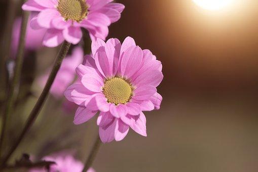 Flower, Pink, Pink Flower, Flowers, Pink Flowers