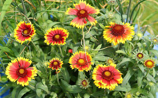 Blanket, Yellow, Blossom, Bloom, Flower, Spring, Plant