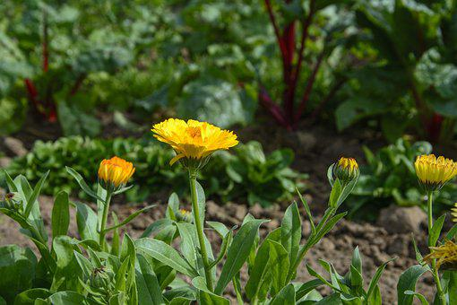 Marigold, Vegetable Growing, Garden, Nature, Plant