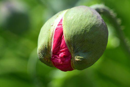 Poppy, Poppy Bud, Bud, Pink, Open, Young, Tender, Small