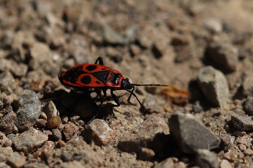 Fire Beetle, Insect, Close, Red, Black, Beetle, Nature