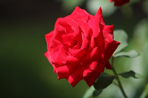 Rose, Red Roses, Nature, Plants, Beautiful, Flowers