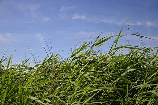 Nature, Reed, Grasses, Grass, Nature Reserve, Silent
