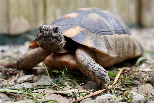Turtle, Tortoise, Greek Tortoise, Reptile