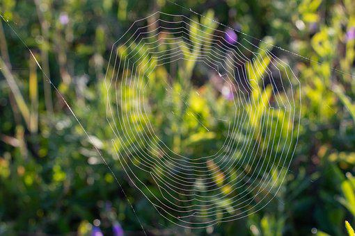 Spider Web, Rosa, Drops, Nature, Closeup, Dawn
