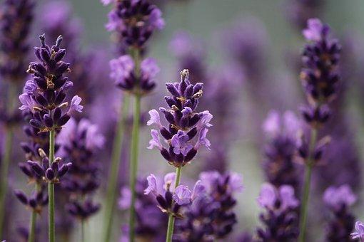 Lavender, Purple, Bloom, Plant, Flowers, Nature, Scent