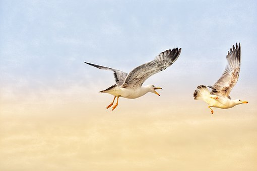 Seagull, Sky, Bird, Sea, Wildlife, Animal, Beak, Gull