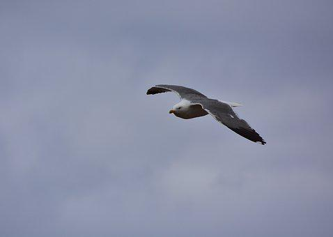 Birds, Seagull, Sky, Sea, Waterfowl, Seabirds
