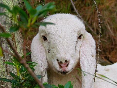 Sheep, Portrait, Animal, Lamb, Head, Grass, Domestic