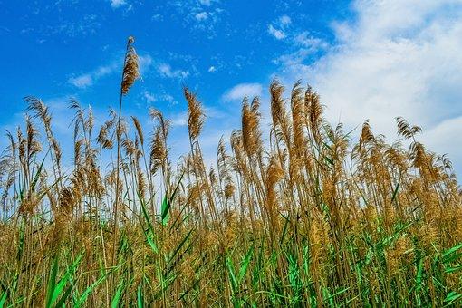 Swamp, Reeds, Nature, Sky, Clouds