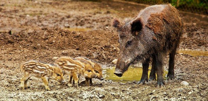 Wild Boar, Wild, Warchlak, Small Boar, Family