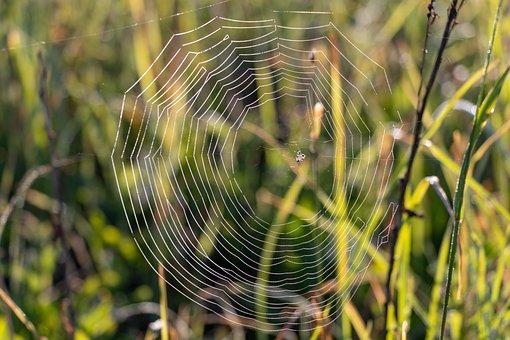 Spider Web, Rosa, Nature, Drops, Closeup, Ray