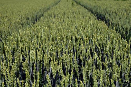 Wheat, Wheat Field, Cereals, Spike, Cornfield, Field