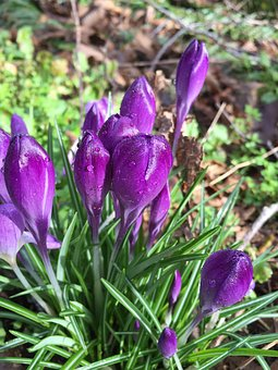 Crocus, Flower, Purple, Bud, Spring, Nature, Plant