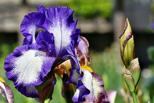 Iris, Iridaceae, Blue, Spring Flower, Flower, Plant