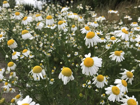 Chamomile, Summer, Flowers