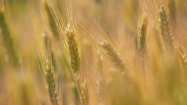 Corn, Fief, Field, Kłos, Ears, The Cultivation Of
