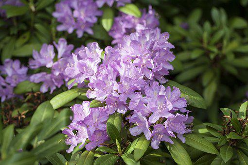 Rhododendron, Guzeripl, The Pontic Rhododendron