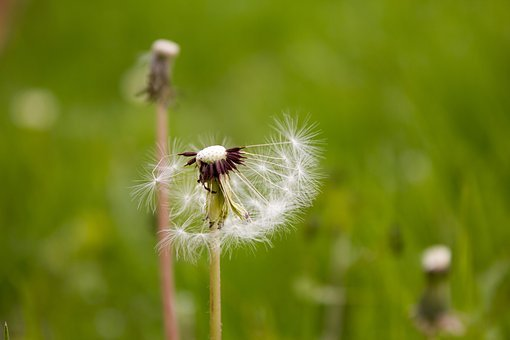 Plant, Green, Dandelion, Spring, The Scenery