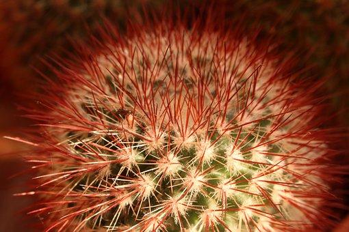 Cactus, Nature, Plant, Thorns