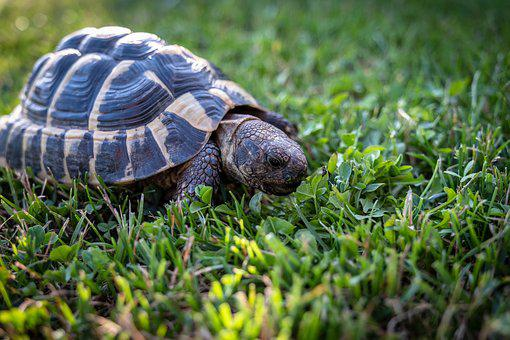 Turtle, Greek Tortoise, Eat, Grass, Greek Turtles