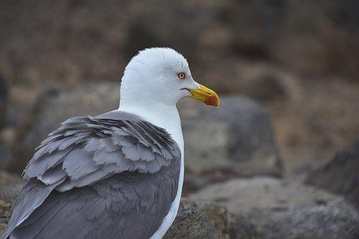 Birds, Seagull, Nature, Waterfowl, Fuerteventura