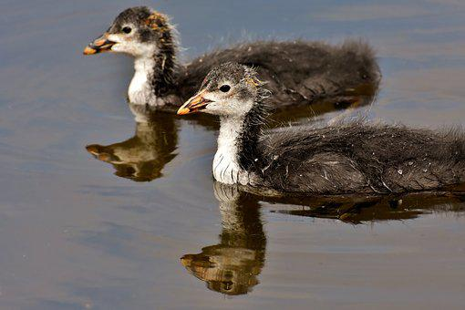 Coots, Chicks, Waters, Nature, Waterfowl, Young