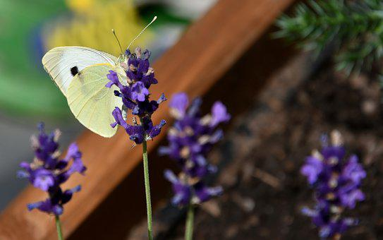 Pieris Brassicae, Butterfly, White, Insect, Flowers