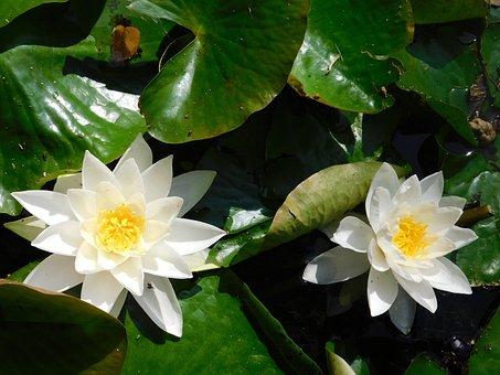 Garden, White, Garden Flowers, Nature, Flowers
