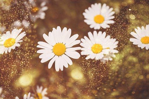 Daisies, Wildflowers, White, Flowers, White Flowers