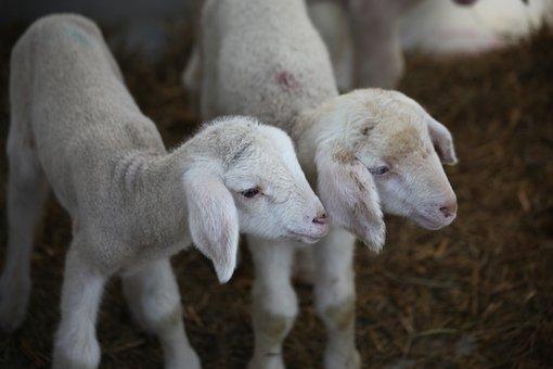 Lamb, Animal, Farm, Wool, Sheep