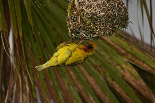 Bird, Weaver, Yellow, Plumage, Nest, Building, Avian