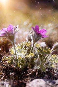 Anemone, Purple, Purple Anemone, Flowers