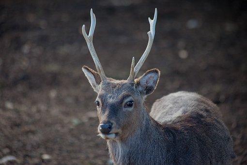 Antler, Roe Deer, Hirsch, Animal, Wilderness