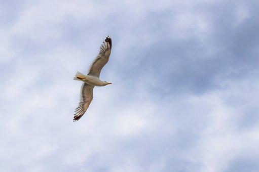 Gull, Sea Bird, Seagull, Animal, Wildlife, White, Fly