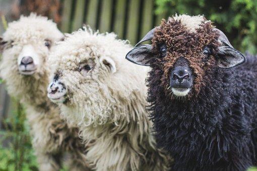 Sheep, Lamb, Lambs, Animal, Animals, Mammal, White