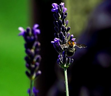 Bee, Lavender, Garden, Flower, Plant, Nature, Insects