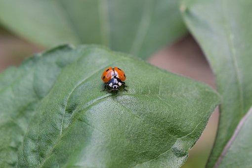 Ladybug, Beetle, Ladybug Leaf, Siebenpunkt, Lucky Charm