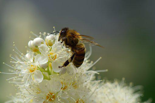 Bee, Flower, Blossom, Bloom, Nectar, Close, Collect