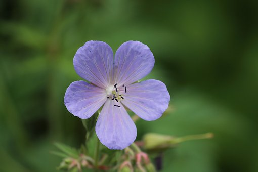Meadow Cranesbill, Geranium Pratense, Geranium, Blossom