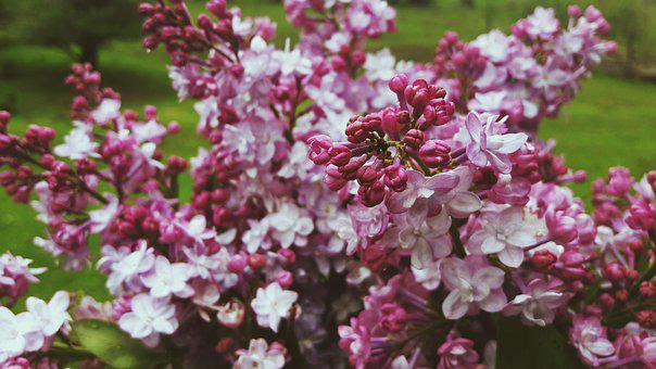 Lilac, Flowers, Summer, Plants, Pink, Bouquet