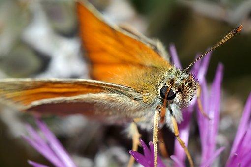 Butterfly, Insect, Karłątek Kniejnik, Butterfly Day