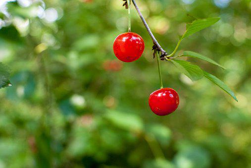 Cherry, Red, Red Fruits, Fruit, Garden, Collection
