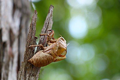 Cicada, Chantui, The Cicada Shell, Summer