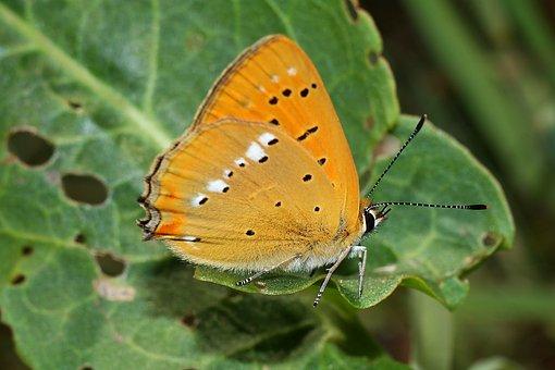 Czerwończyk Dukacik, Butterfly, Insect, Nature