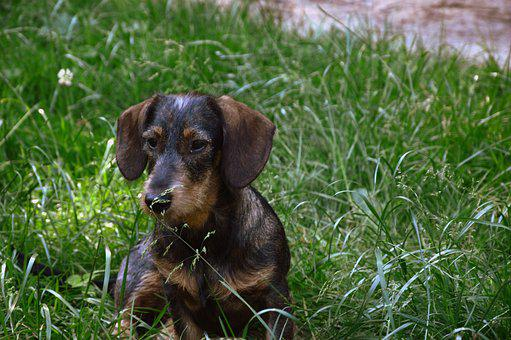 Animal, Dog, Dachshund, Wirehaired Dachshunds