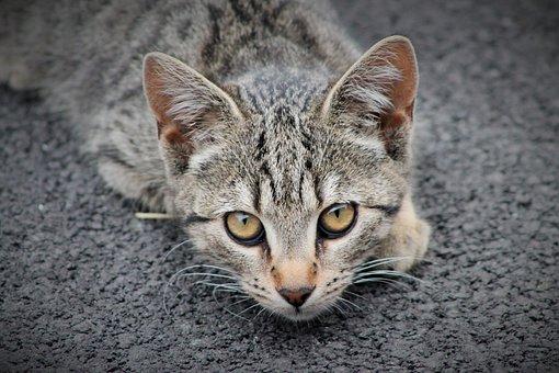 Cat, Animal, Animals, Feline, Cat Eyes, Domestic Animal