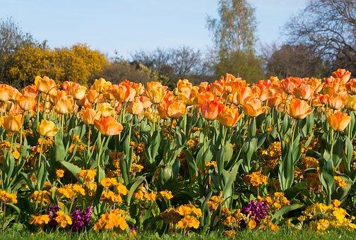 Tulip, Spring, Flower, Orange, Early, Flower Bed, Bed