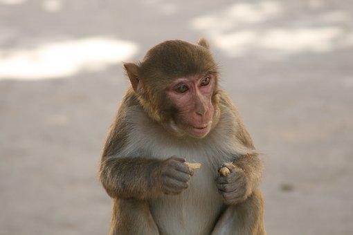 Monkey, Eating Monkey, Long Tail, Animals, Mammal