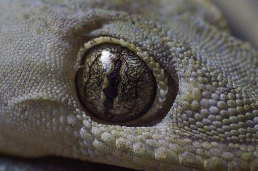 Eye, Lizard, Animal, Nature, Reptile, Wildlife, Wild